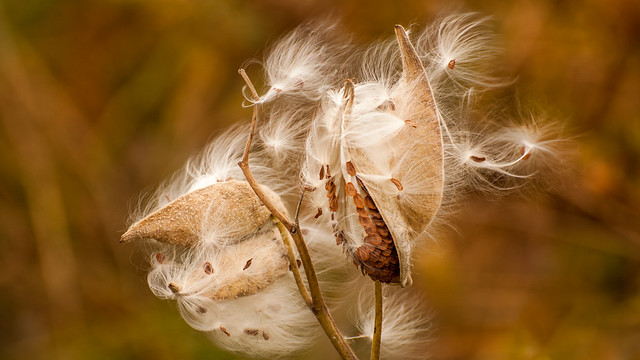 Semence d'automne