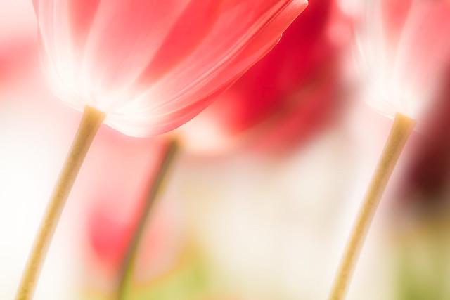 Les trois tulipes