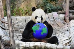 Bei Bei's got the whole world is his h̶a̶n̶d̶s̶ err...paws