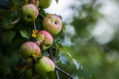 apples in waiting