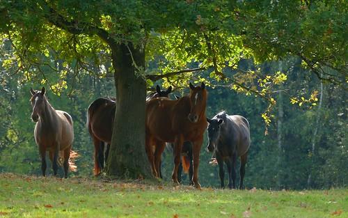 Horses - Paarden - Chevaux - Pferde - Equus ferus caballus (Equidae)