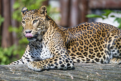 Leopardess on the log