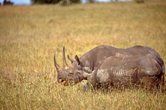 East African Black Rhinos (Diceros bicornis michaeli) female and young ...