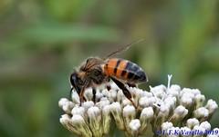 abelha em flores de Eupatorium intermedium