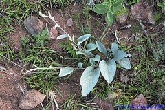 Convolvulaceae