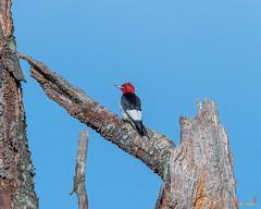 Red-headed Woodpecker (Melanerpes erythrocephalus) (DSB0357)
