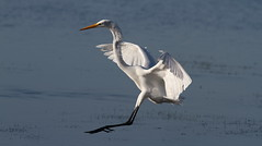 Great Egret, Robert K Rees Memorial Park (AKA Green Key)