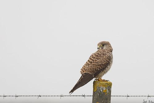 Peneireiro-comum - common kestrel (Falco tinnunculus)