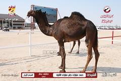 صور منافسات مهرجان قطر الثالث للمجاهيم والوضح (أشواط المجاهيم) صباح  14-11-2019