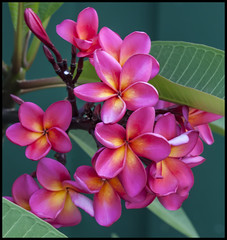 Soon I will have hundreds of these Frangipanis=