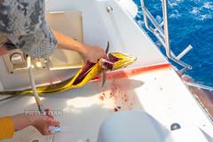 Fishing for Mahi-Mahi (Dorado, Dolphinfish) from sailing yacht