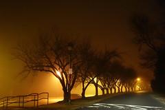 Cherry Trees on Foggy Evening