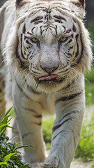 The white tiger coming to me