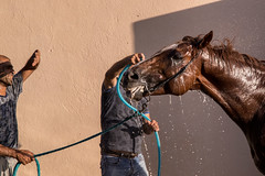 Men bathing a horse with garden hose