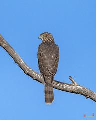 Cooper's Hawk (Accipiter cooperii) (DRB0267)