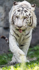Another one of the white tiger