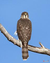 Cooper's Hawk (Accipiter cooperii) (DRB0272)