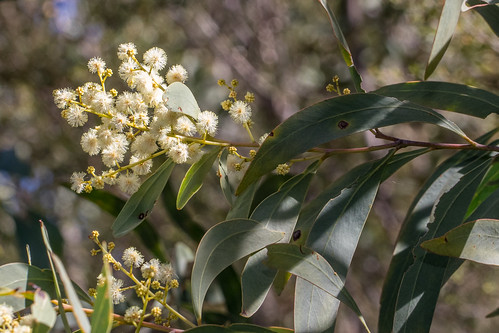 Broad-leaved Hickory (Acacia falciformis)