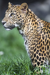Brave sitting leopardess