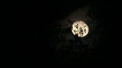 Misty Moon Through the Trees