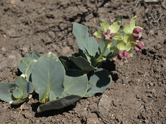cow cabbage, Asclepias cryptoceras