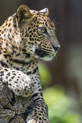 Leopardess posing on the log