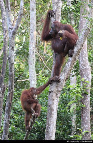 Orang Utan mother and child, Tanjung Puting NP, Borneo, Indonesia