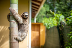 Beautiful sloth in our back yard