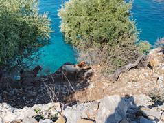 Wild goats on the island Baba Adasi, Turkey
