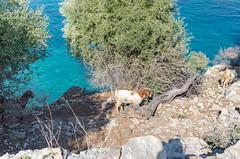 Ziegen auf der Insel Baba Adasi, Türkei