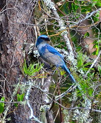 Scrub Jay at Ocala National Forest