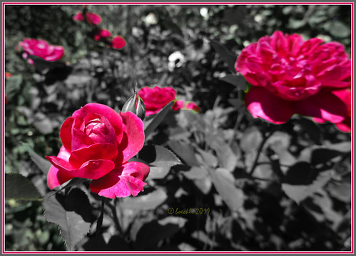 Red roses at Red Cow Farm Garden