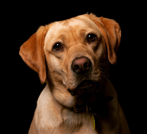 Lola the Labrador!