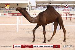 صور منافسات مهرجان قطر الثالث للمجاهيم والوضح (أشواط المجاهيم) صباح  16-11-2019