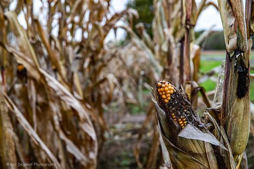 corn alone