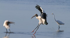 Wood Stork, Robert K Rees Memorial Park (AKA Green Key)