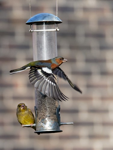 Chaffinch and greenfinch at a bird feeder