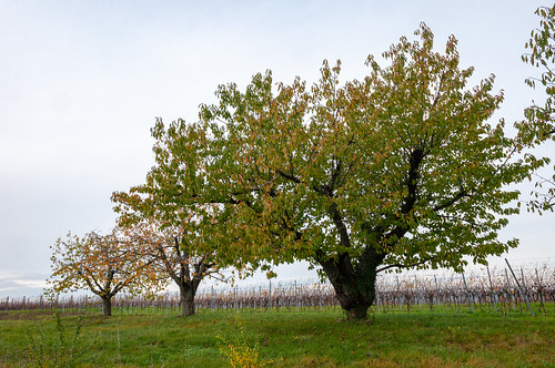 Cerisiers (Traenheim, France)-113