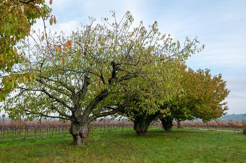 Cerisiers (Traenheim, France)-108