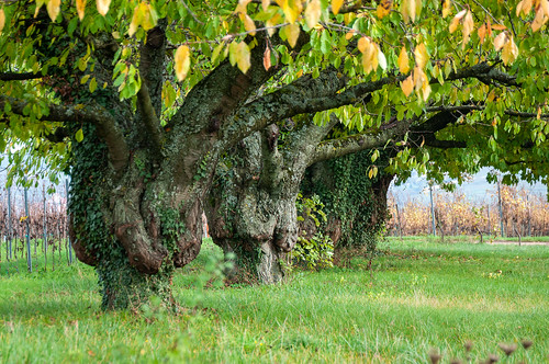 Cerisiers (Traenheim, France)-106
