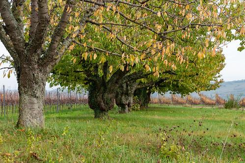 Cerisiers (Traenheim, France)-105
