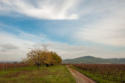 Cerisiers (Traenheim, France)-102