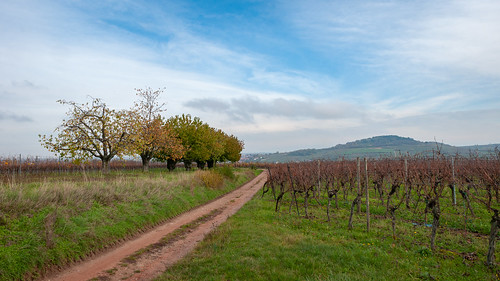 Cerisiers (Traenheim, France)-100