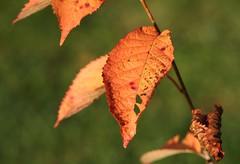 Cherry tree leaf in autumn