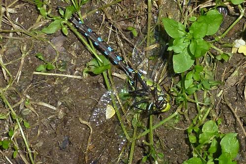 Blaugrüne Mosaikjungfer Unterseite