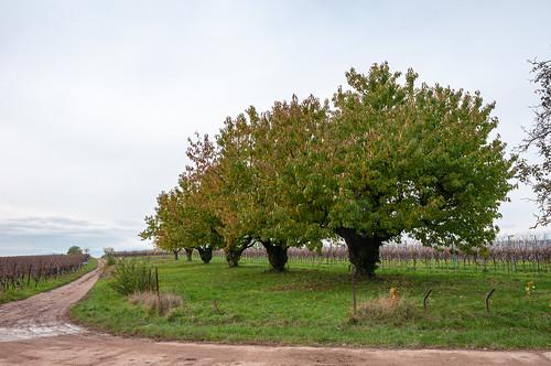 Cerisiers (Traenheim, France)-115