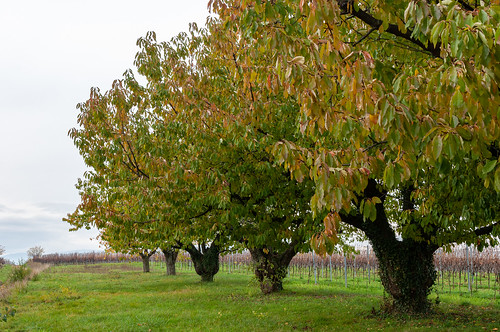 Cerisiers (Traenheim, France)-114