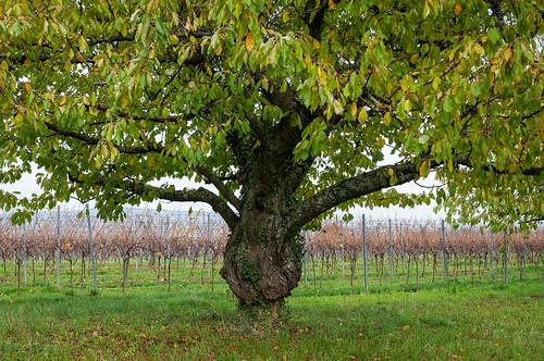 Cerisiers (Traenheim, France)-107