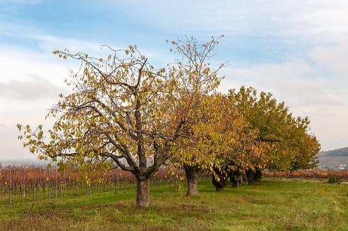 Cerisiers (Traenheim, France)-103