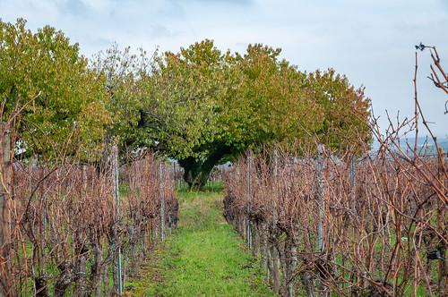 Cerisiers (Traenheim, France)-101